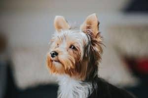 ALT yorkshire toy cuidar de tu yorkshire terrier mini