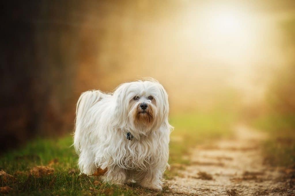 ALT bichon maltes educarlo correctamente perros mini toy