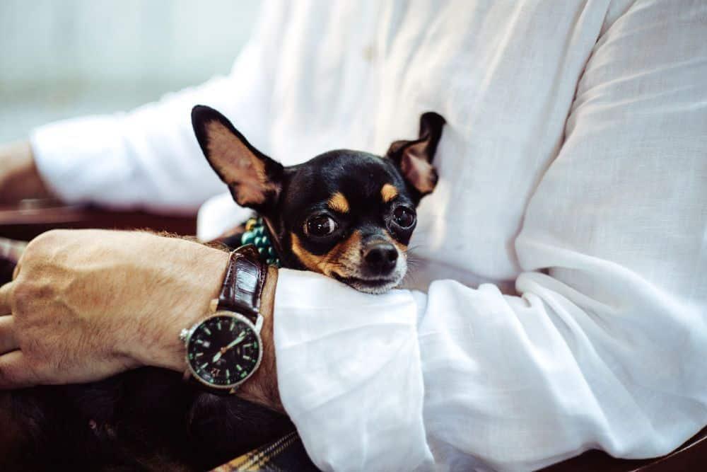 alt perros mini toy razas pequeña chihuahua